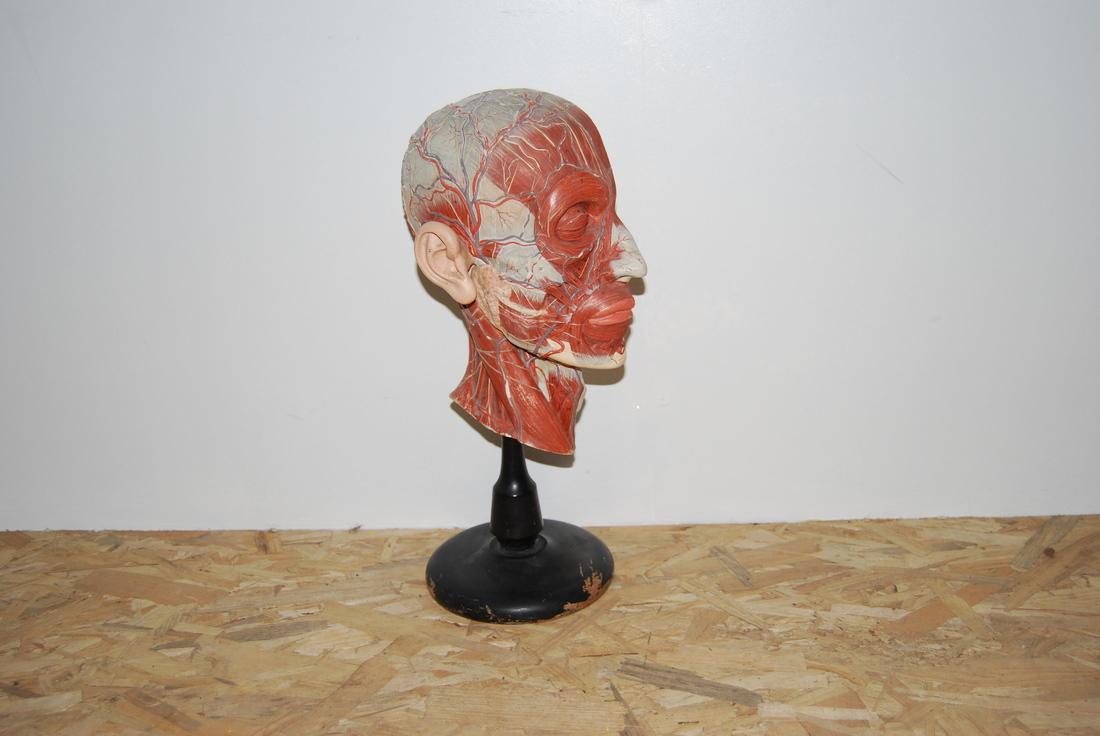 anatomisch model hoofd